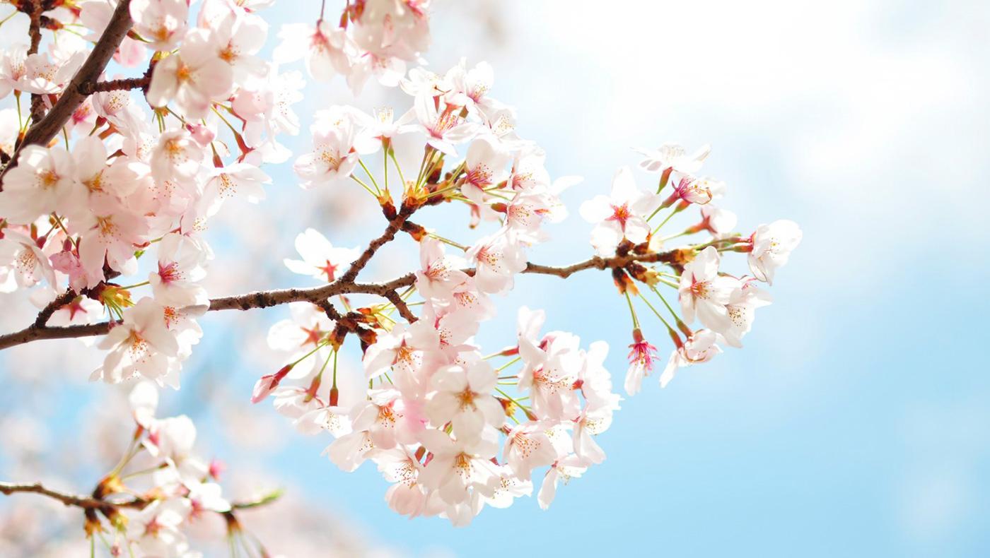 「気仙沼さくら復活プロジェクト」長野県伊那市にて実施を決定