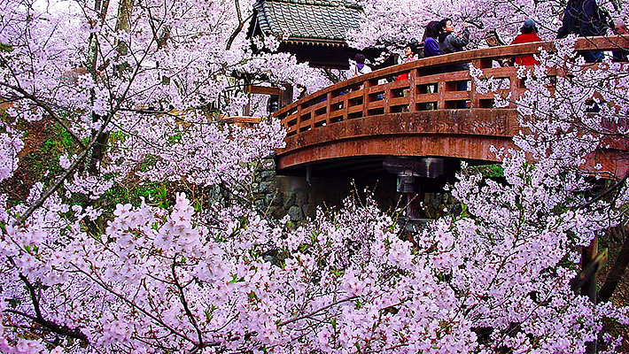 天下第一の桜