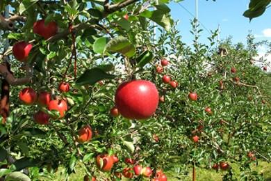 りんご5kg(10月発送)