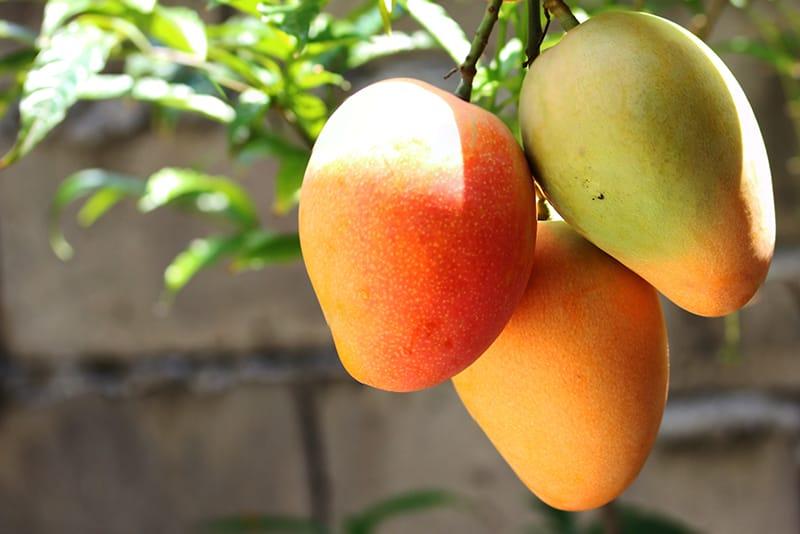 選ぶなら国産マンゴー!旬の季節と品種を紹介
