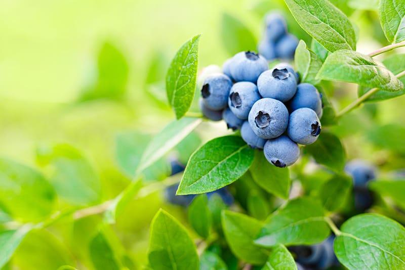 国産ブルーベリーの旬は6月〜8月