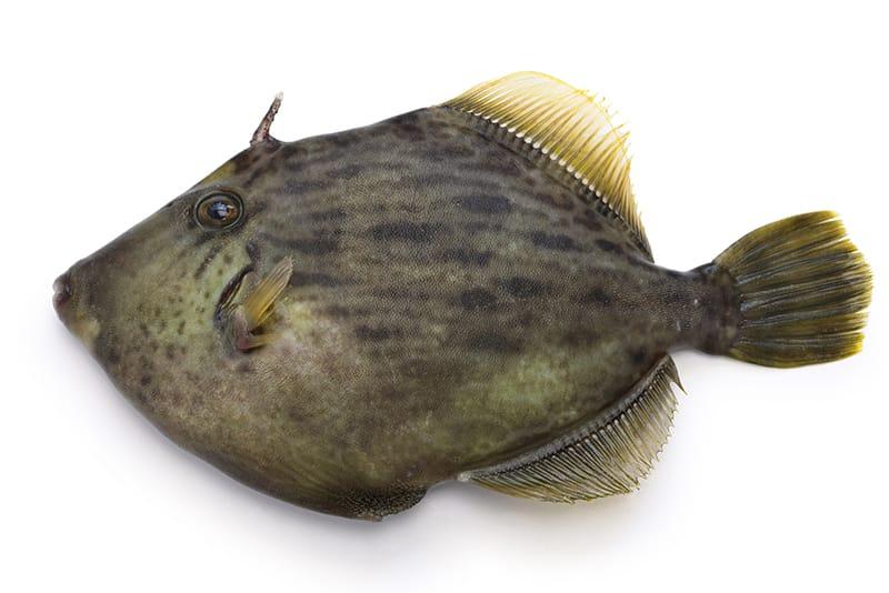 カワハギとはどんな魚?